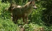 Alpha - Le parc  loups 