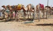 Camel Market 